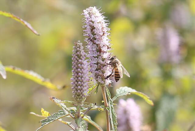 Ong hút mật của hoa bạc hà trong tự nhiên để tạo mật ong bạc hà.