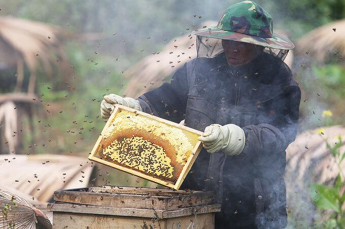 Mật ong bạc hà phụ thuộc 100% vào tự nhiên, sản lượng hàng năm không nhiều.