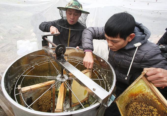 Mật ong bạc hà có chất lượng tốt hơn khi diện tích trồng cây bạc hà tăng cao