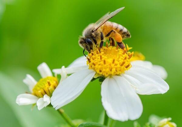 Ong hút mật từ hoa xuyến chi