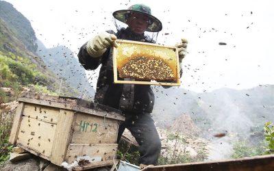 Khi nào có mật ong bạc hà vụ mới