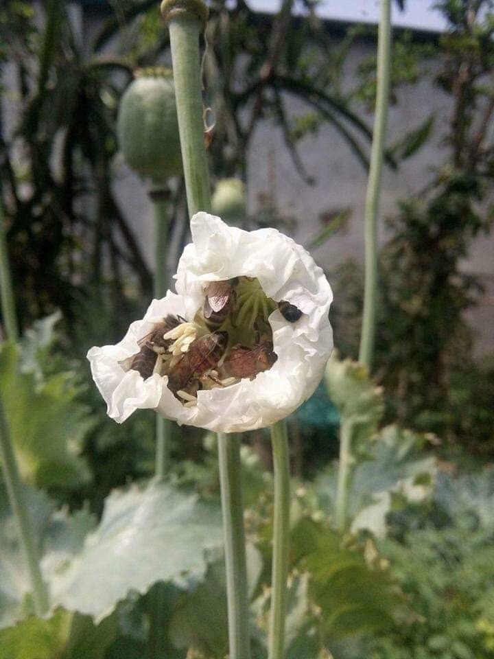 Hoa anh túc là thức ăn chính để làm ra mật ong anh túc quý hiếm