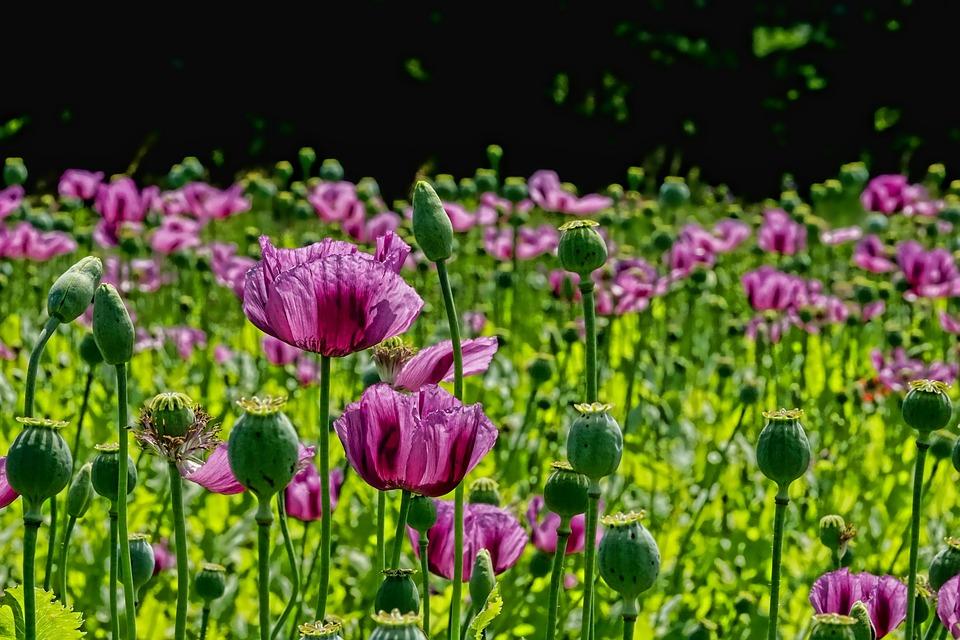 Hoa anh túc thường nở rộ từ giữa tháng 2 cho tới giữa tháng 3 dương lịch