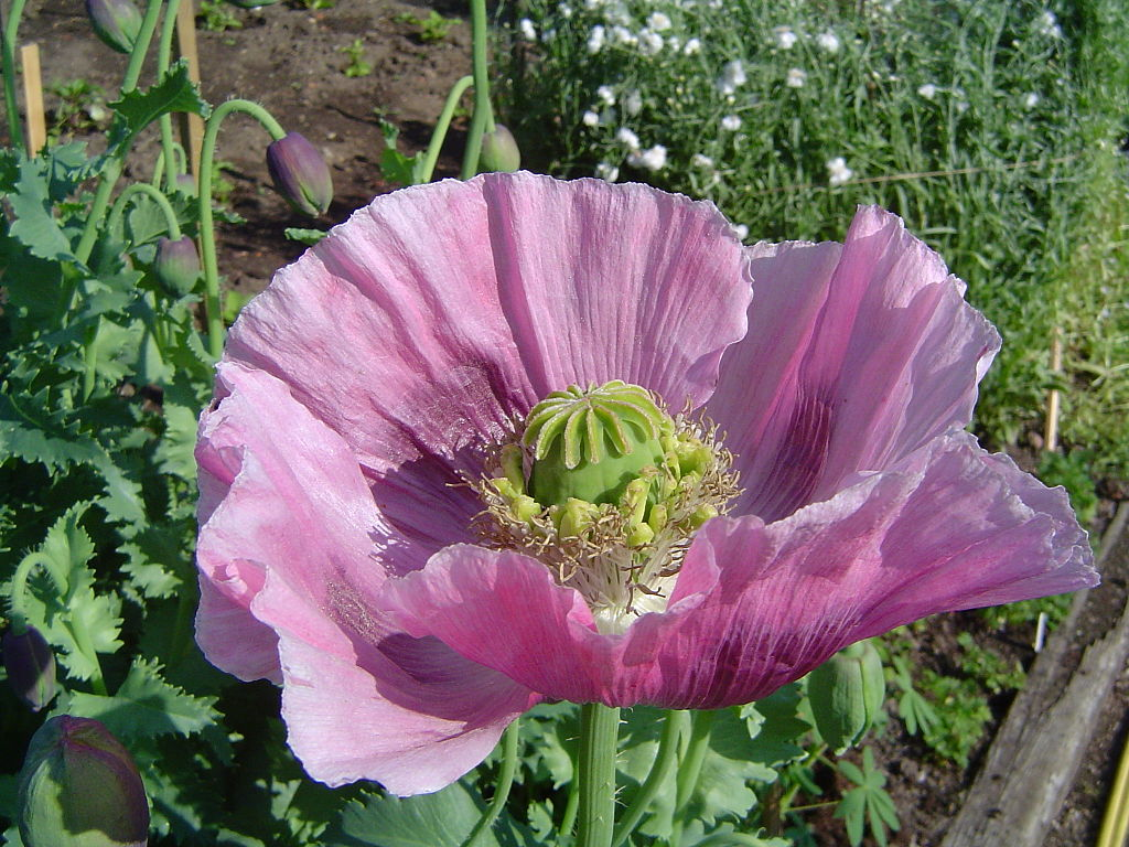 Hoa anh túc nở rộ có màu sắc sặc sỡ thu hút côn trùng