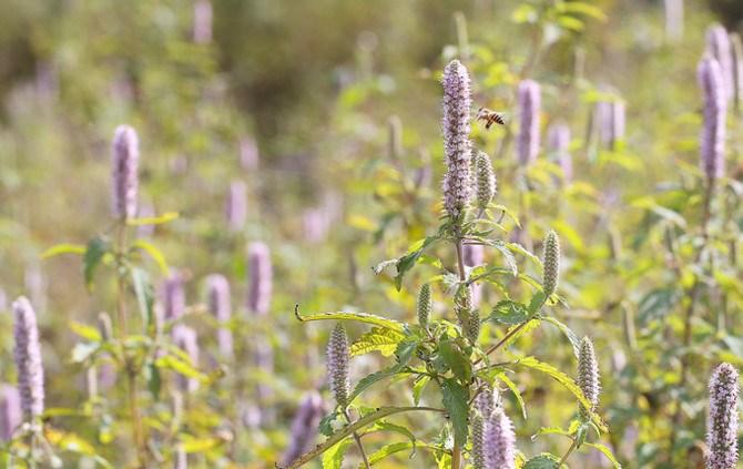 Mật ong bạc hà phụ thuộc vào điều kiện tự nhiên rất nhiều