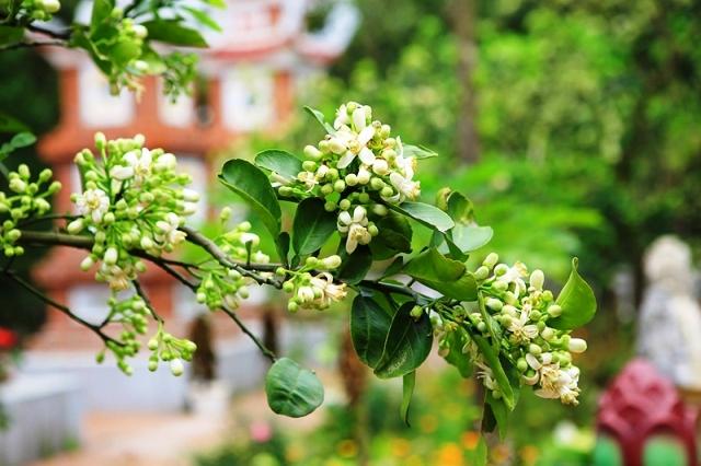Hoa bưởi nở rộ mỗi khi sau Tết