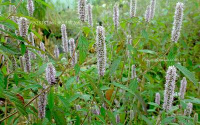 Cây hoa bạc hà Hà Giang