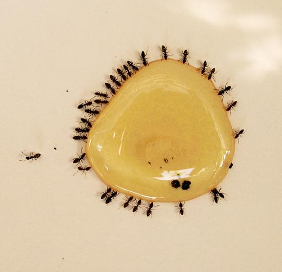 Mật ong rừng nguyên chất kiến bu vào là chuyện rất bình thường
