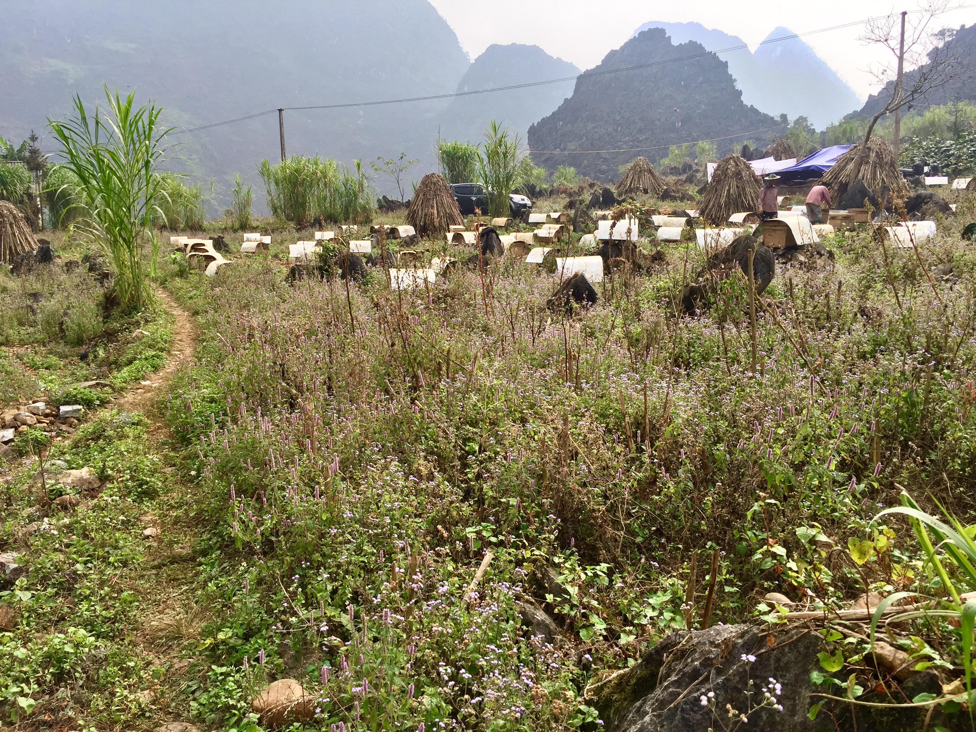 Cây hoa bạc hà Đồng Văn có trồng ở các tỉnh được không