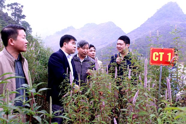 Nhân giống và phát triển cây hoa bạc hà Đồng Văn