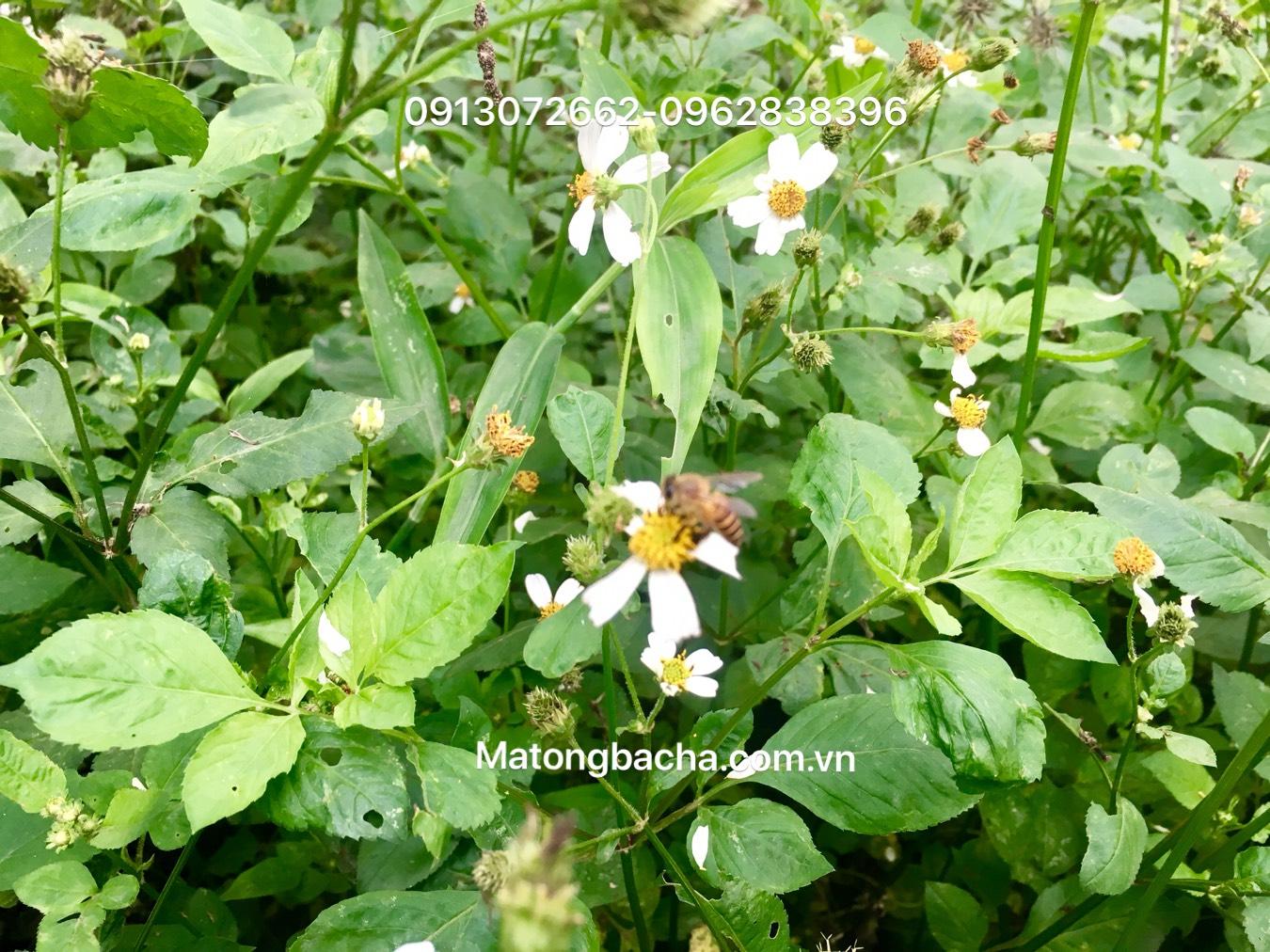 Mật ong cỏ Kim thường được khai thác từ tháng 6 - 10 dương lịch