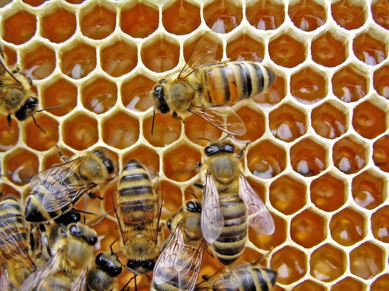 Ong Ý có thân hình to, ăn tạp, thời gian làm mật rất nhanh nhưng chất lượng không ngon.