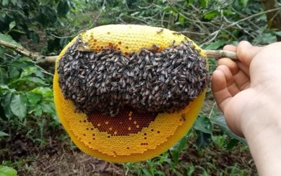 Mật ong ruồi