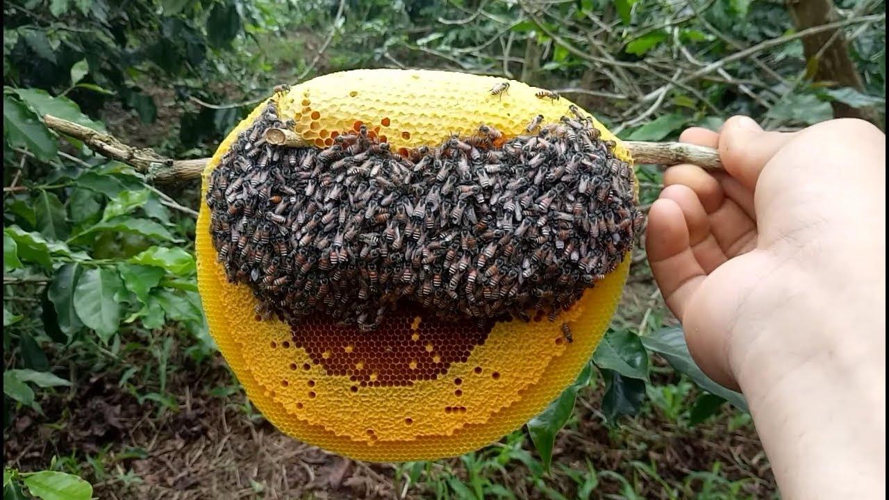 Ong ruồi là loại ong rừng bé nhỏ, hiền, không có nọc độc