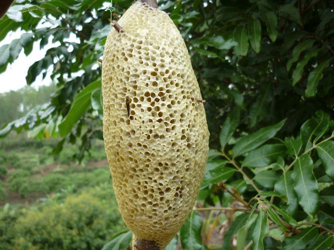 Tổ ong ruồi hình dạng quả đu đủ