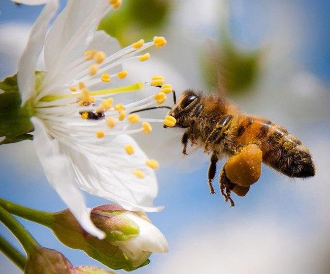 Ong sẽ hút mật tất cả các loại hoa trên đường đi mà ong tìm thấy.