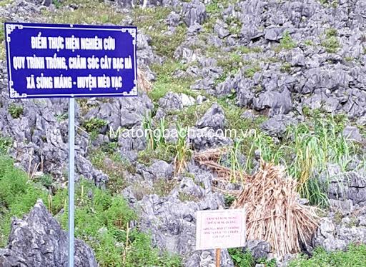 Vùng nguyên liệu hoa bạc hà được cắm biển chỉ dẫn Vietgap.