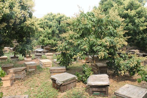 Những tổ ong được đặt trong vườn nhãn mùa hoa lấy mật
