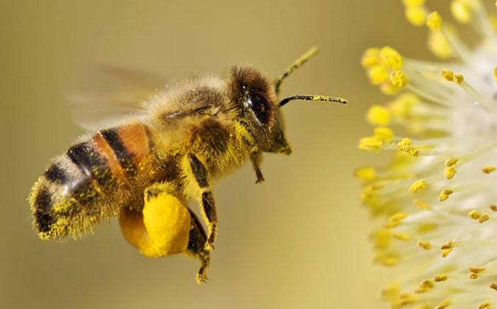 Những chú ong chăm chỉ kiếm tìm nguồn thức ăn.