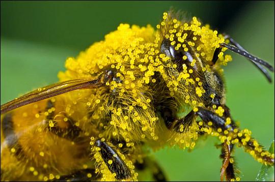 Những bào tử phấn hoa được ong thợ kiếm về